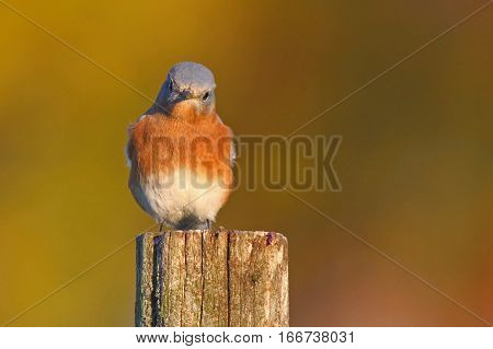 An eastern bluebird perching on a post in autumn.
