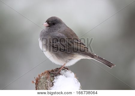 A Dark Eyed Junco perching on a post in winter