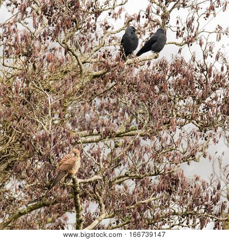 Kestrel (Falco tinnunculus) in tree with jackdaws (Corvus monedula). Small female falcon (family Falconidae) at rest in alder tree (Alnus glutinosa) surrounded by small black crows