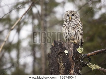 Close up image of a wild, Barred Owl, perched on an evergreen stump.  Winter in northern Wisconsin.