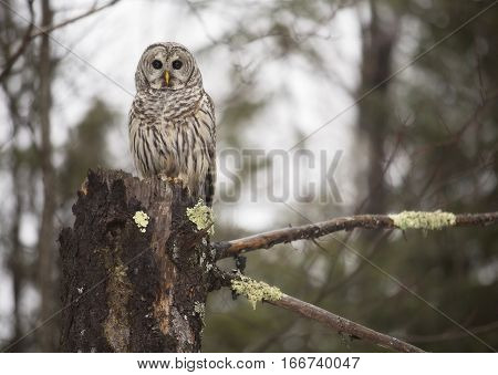 Close up image of a wild Barred Owl, perched on a dead evergreen tree stump.  Winter in northern Wisconsin.