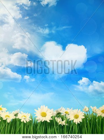 White spring daisies with puffy clouds in background
