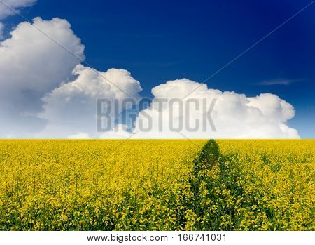 yellow rape field under nice sky with clouds