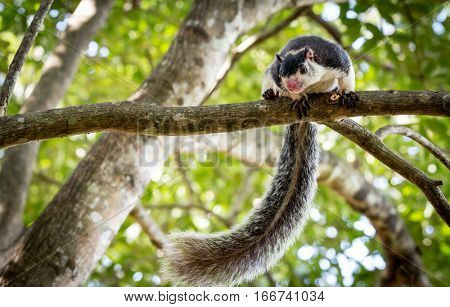 Grizzled Giant Squirrel among trees in jungle