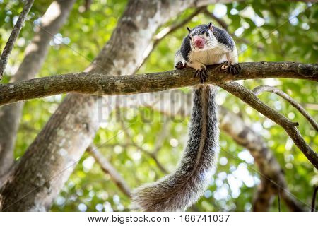 Funny Grizzled Giant Squirrel among trees in jungle
