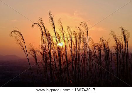 Glowing sunrise. Grass silhouettes. Grass in low golden morning light . Sharp image correct composition deep warm colors. Nara. Japan.