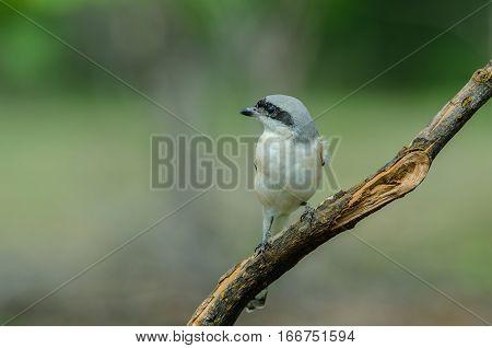 Bay-backed Shrike Bird Perching On A Branch