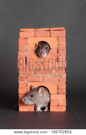 Two pet rats in a brick house