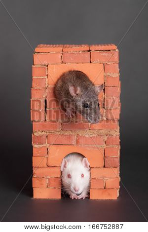 Two domestic rats in a brick house