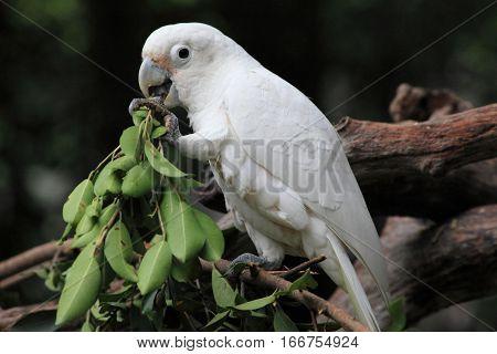 greedy white parrot, bird eating in Guangzhou
