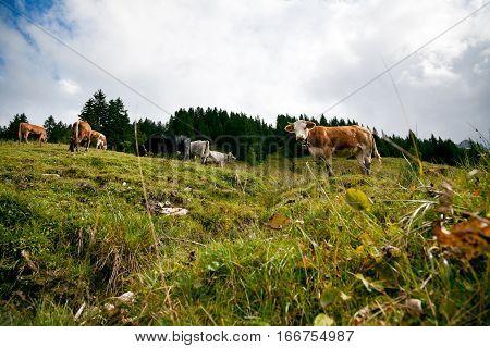 cows on an alpine pasture in austria