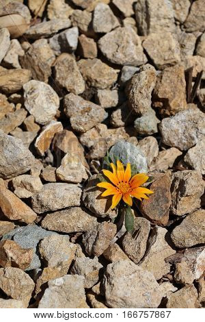 One small solitary orange flower growing in rocky area