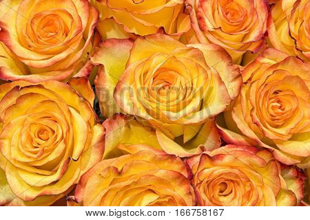 Yellow roses with orange red edges are bunched tightly in a boquet and viewed from above.