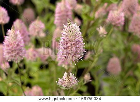 pink flower in the garden, closeup center