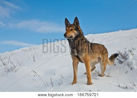 shepherd dog on the snow, mongrel sheepdog