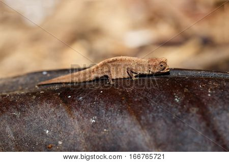 Tiny Chameleon Brookesia Minima, Micra, Madagascar