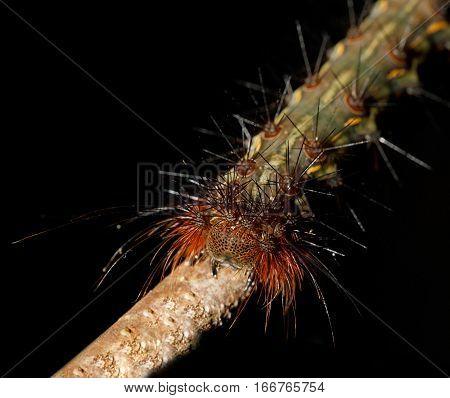 Caterpillar Founded In Nosy Mangabe, Madagascar