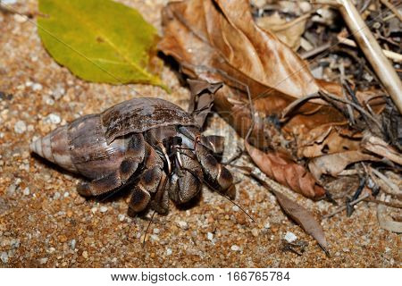 Hermit Crab With Snail Shell Madagascar