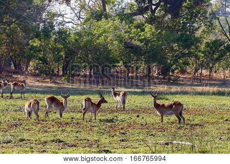 Herd Southern Lechwe In Okavango, Botswana, Africa