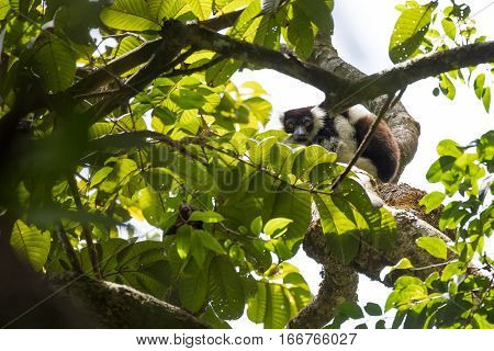 Black-and-white ruffed lemur (Varecia variegata subcincta) on branch in Madagascar wilderness. Nosy Mangabe forest reserve. Madagascar wildlife and wilderness