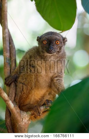 White-headed Lemur (eulemur Albifrons), Madagascar