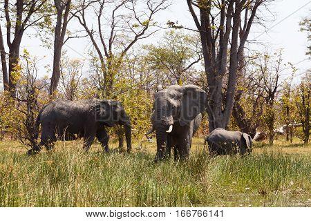 African Elephant Moremi Game Reserve, Okavango Delta
