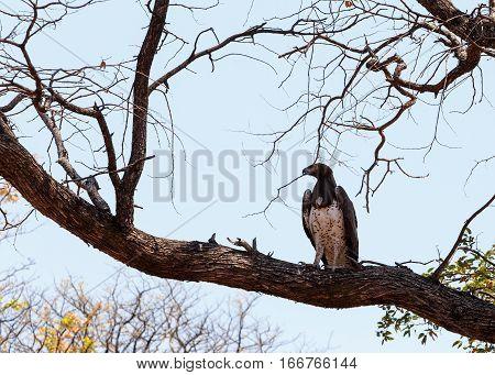 African Martial Eagle, Okavango Delta, Botswana, Africa