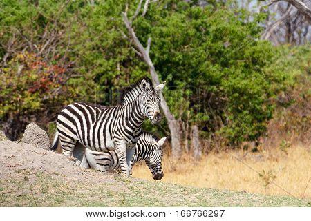 Zebra In African Bush, Okavango, Botsvana Africa