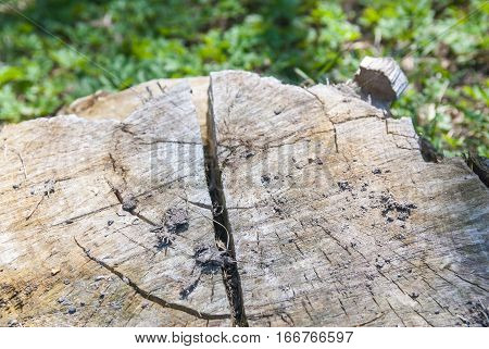 close-up stump of tree felled - section of the trunk with annual rings
