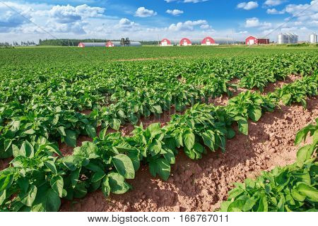 Field of healthy potatoes with potato warehouses off in the distance, in rural Prince Edward Island, Canada.