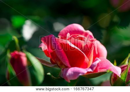 Close-up side angle of a brightly lit pink rose in a rose bush. Gardening and Valentine's Day Concept.