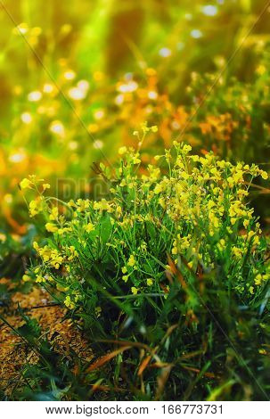 Blurred floral background - de-focused yellow meadow flowers of bittercress closeup.