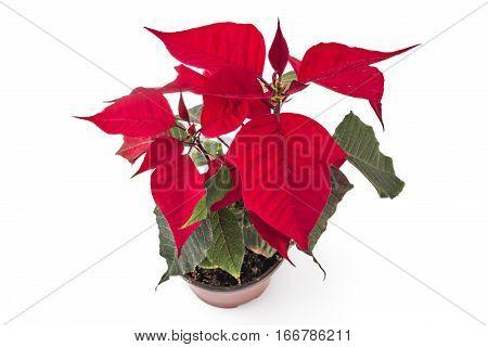 Poinsettia flower in flowerpot. Red christmas flower on white background