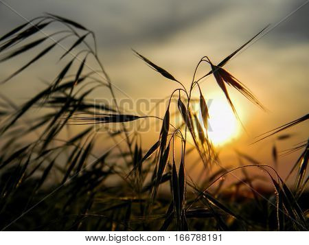 Spikelets on sunset background. Warm sammer colors