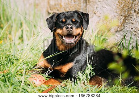 Funny Young Black Rottweiler Metzgerhund Puppy Dog Smiling In Green Grass In Summer Park Outdoor.
