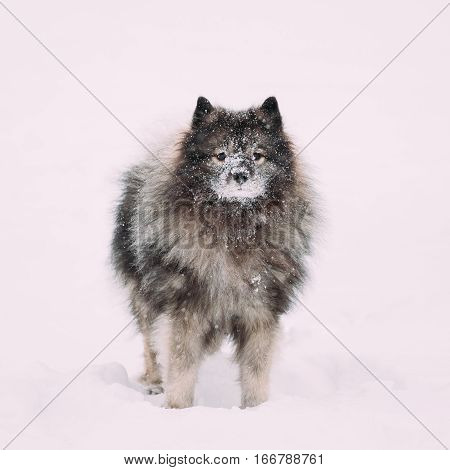Young Funny Keeshond Dog Play Outdoor In Snow. Winter Season. Dog Training Outdoors.