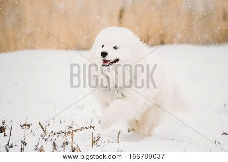 Funny Young White Samoyed Dog, Bjelkier, Smiley, Sammy, Playing Fast Running Outdoor In Snow, Winter Season. Playful Pet Outdoors.