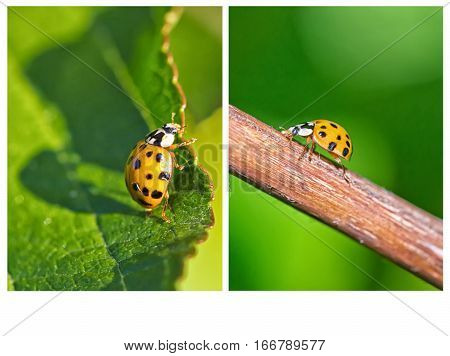 Collage of two Close up vertical images of a yellow Ladybird beetle or a Ladybug