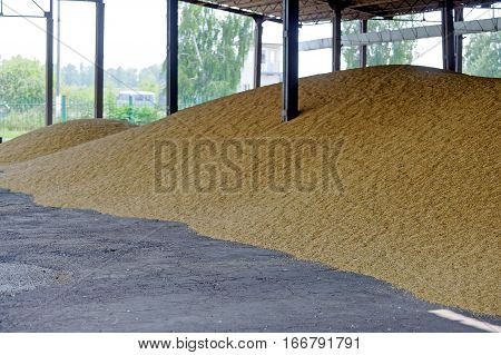 Pile of organic ripe wheat seeds at grain silo