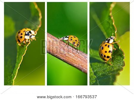 Collage of three vertical close up images of a yellow Ladybird beetle or a Ladybug