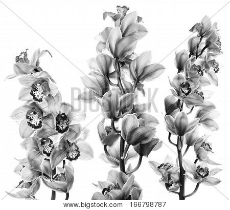 Orchid flowers isolated on white background. Monochrome photo