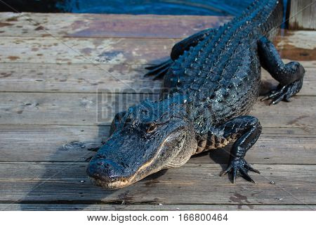 American Alligator (a. Mississippiensis)