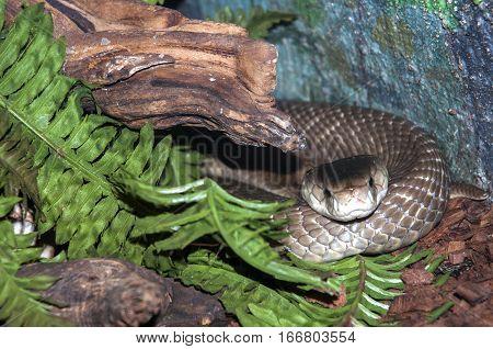 A Cobra Coiled