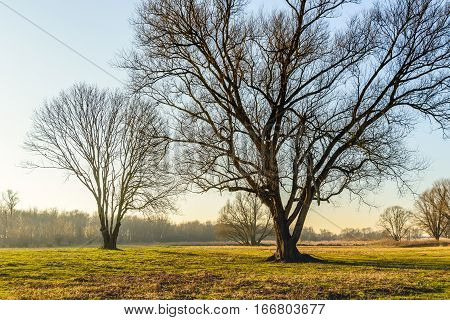 Silhouettes of some tall bare trees in the late afternoon of a sunny day in the Dutch winter season.