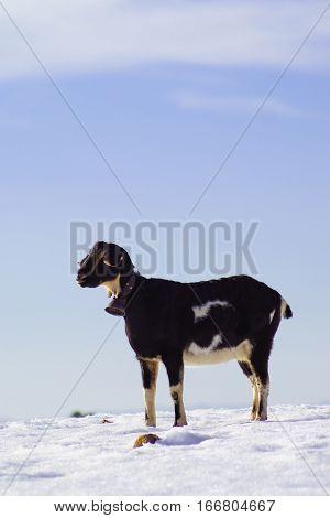 goat on white snow field in Sierra de Maria, Almeria, Spain