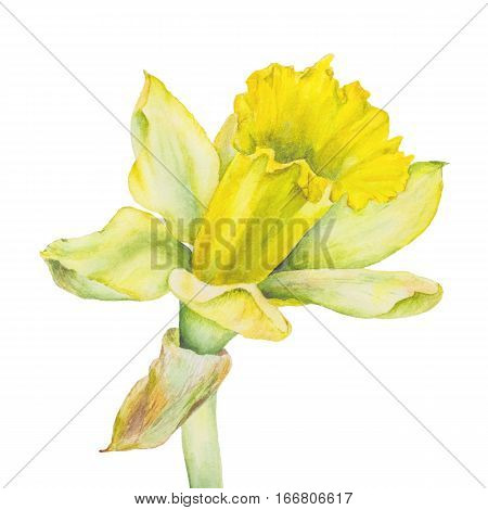 Botanical watercolor illustration of yellow narcissus on white background. Could be used as decoration for web design polygraphy or textile