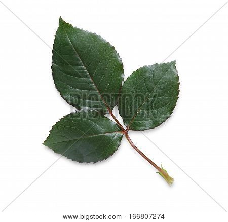 Rose flower green leaf isolated on white background. Closeup, top view