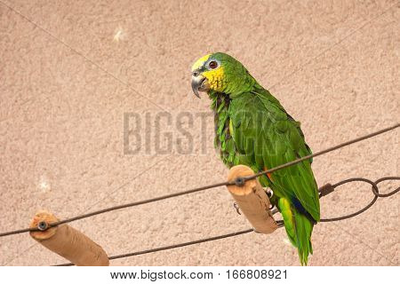 Captive Orange-winged Amazon parrot or Amazona amazonica