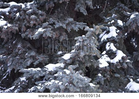 coniferous tree spruce fluffy weeping branches with dense fluffy needles