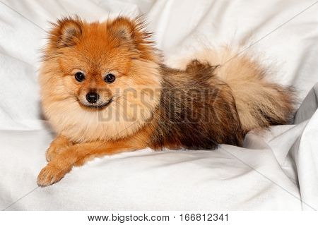 The spitz is lying on the white sheet with smart face